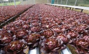 Figura 3-Área de produção de alface salanova roxa hidropônica.image003