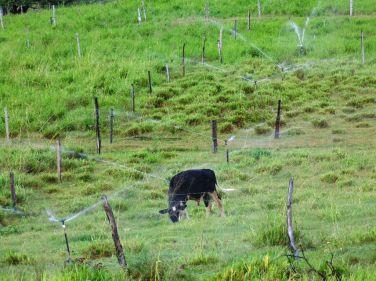 Foram implantados piquetes irrigados para pastejo rotacionado