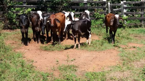 Vacas receptoras, as chamadas barrigas de aluguel, que receberam os embriões.