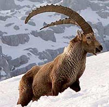 interpid ibex