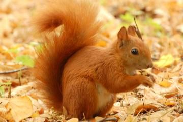 Red_Squirrel_-_Lazienki