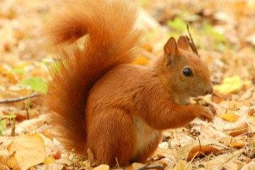 Red_Squirrel_-_Lazienki