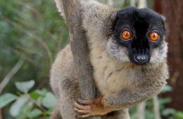 800px-Brown_Lemur_in_Andasibe
