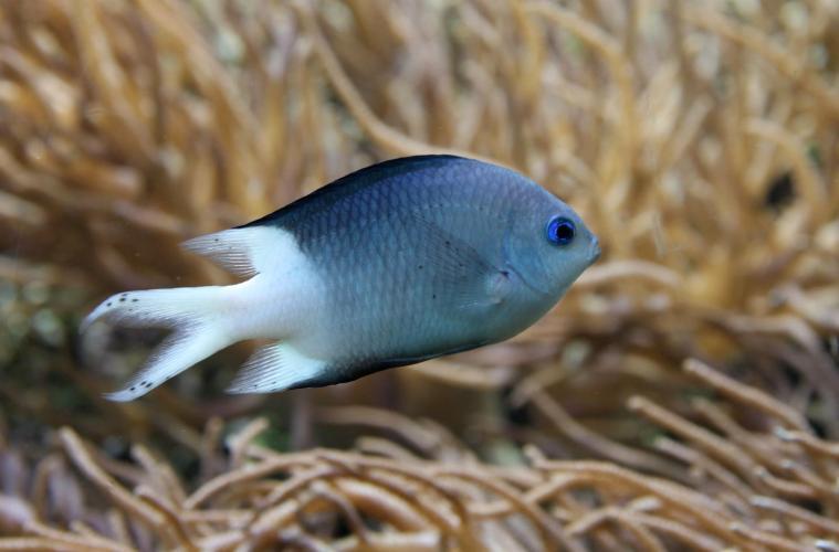 Acanthochromis_polyacanthus