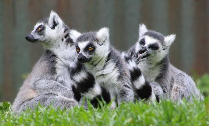 Ring tailed lemurs. Credit: Chris Gin