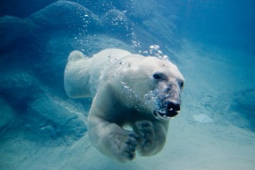 Polar_bear_swimming_in_zoo