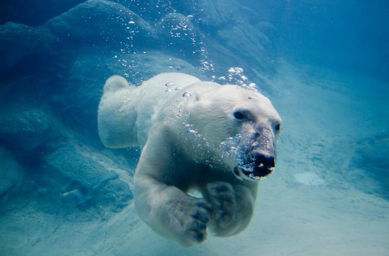 Polar_bear_swimming_in_zoo