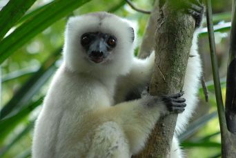 The silky sifaka, one of the most endangered primates in the world. Credit: Jeff Gibbs