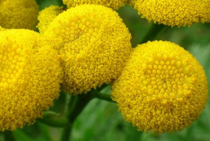 Tansy flower up close. Credit: Roger Griffiths