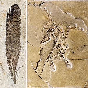 the fossil feather and skeleton of the iconic dinosaur Archaeopteryx. Images courtesy Museum für Naturkunde Berlin