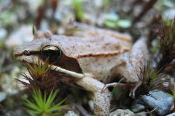 Lithobates_sylvaticus_(wood_frog)