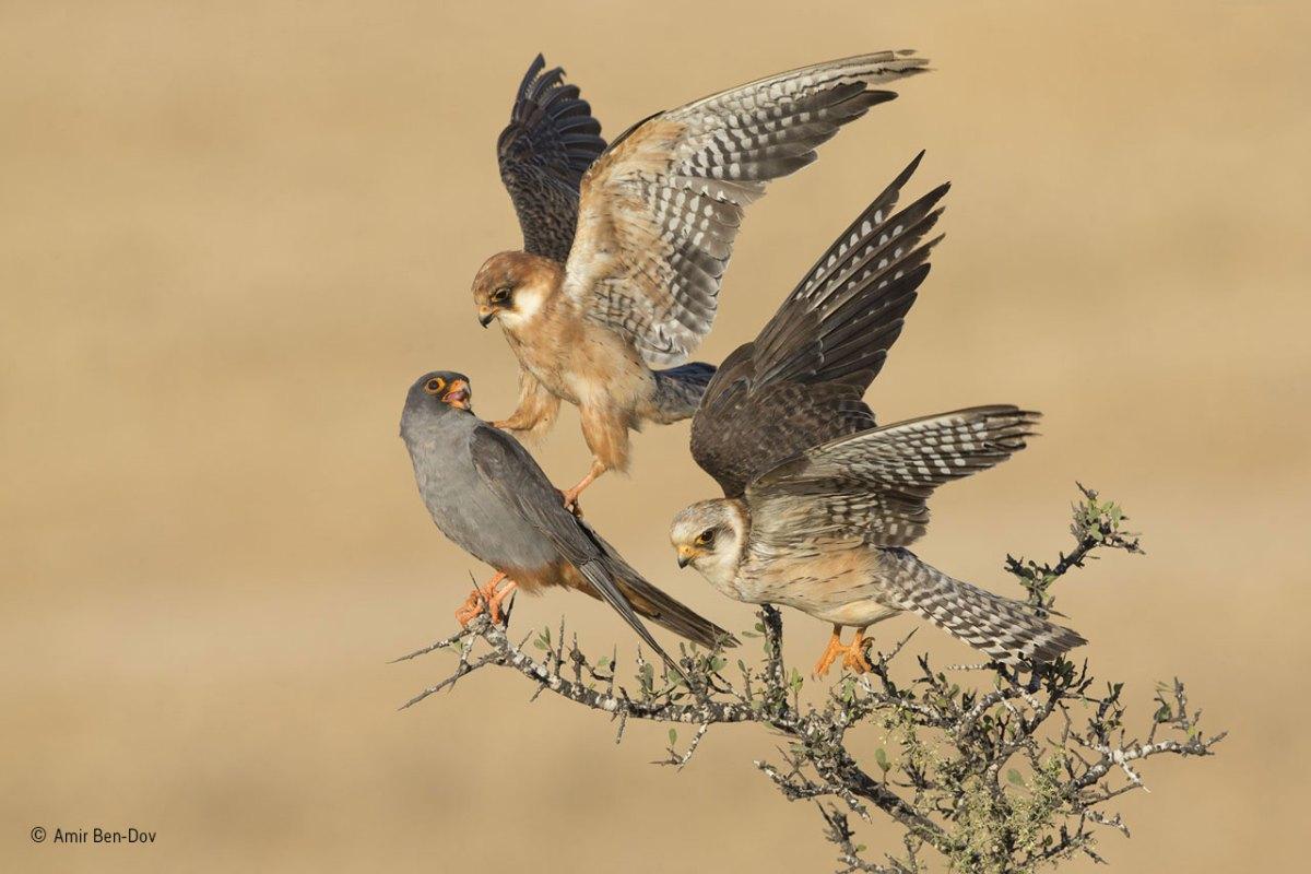 Amir-Ben-Dov_ Birds