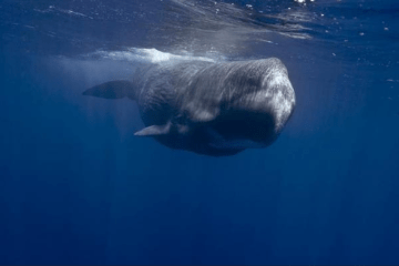 Sperm whales heads are used as battering rams