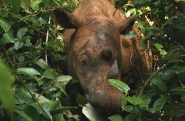 Can we save the Sumatran rhino?