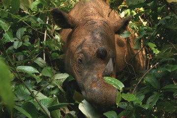 Can we save the Sumatran rhino?