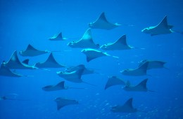 cownose rays