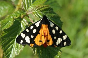 toxic moths deter predators with acoustic warning