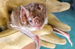 Vampire bat social bonds