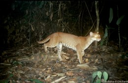 Africa's golden cats