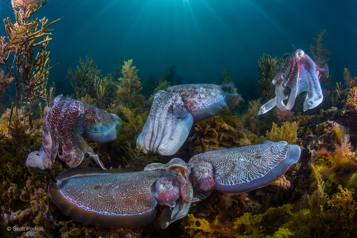 The Aggregation of Giant Australian Cuttlefish is rare event that can only be seen at a certain time of year, where thousands of cuttlefish compete for mating rights. a vivid display of colours and textures is what entices the opposite sex to mate.