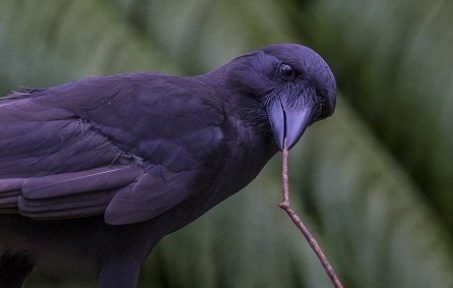 Hawaiian crows tool use