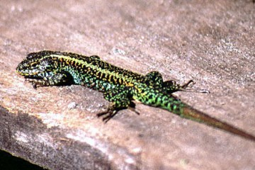lizard encountered in SW Chiloe  Liolaemus pictus pictus, the painted tree lizard lagartija pintada  oops, its out of its range.