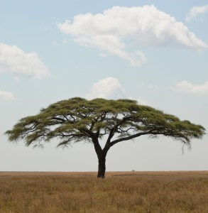 Acacia trees, along with giraffes, form part of the iconic landscape. Credit: Oliver Dodd CC BY 2.0