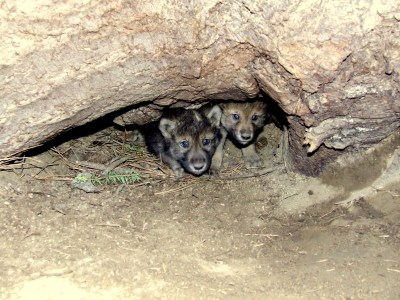 Gray wolf pups emerge from their den. Populations are expected to decline greatly if the bills pass. © USFWS/Flickr