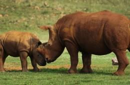 Rhino_(8159812692)