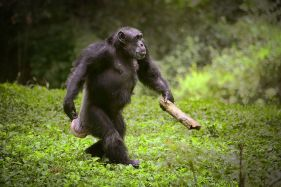 Chimpanzees use both wooden and stone tools. Daksin90@flikr