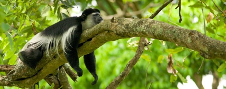 Black_and_white_colobus_monkey_(13945312952)