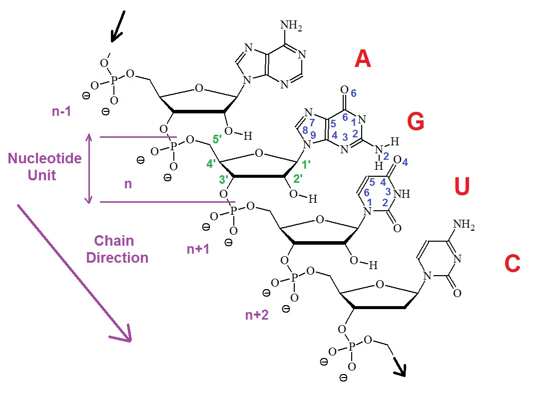 Numbering Convention For Nucleotides