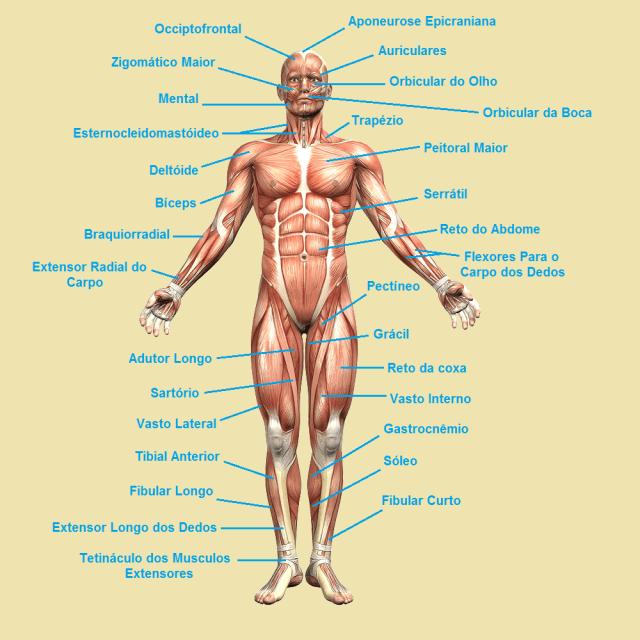 Moderno Anatomía Muscular Anterior Imagen - Anatomía de Las ...