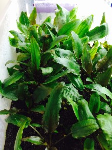 Cryptocoryne emered growth