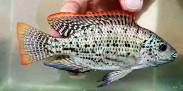 Oreochromis Jipe male