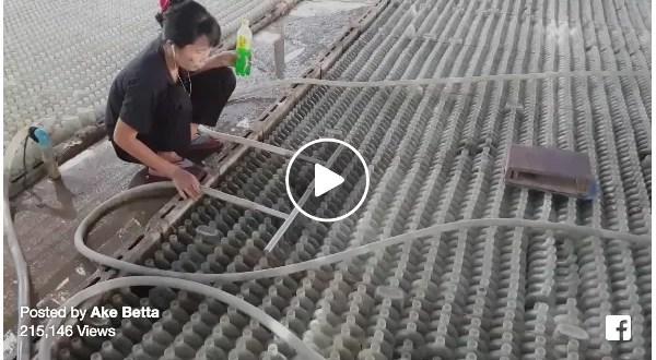 Massive Betta Farm Water Change