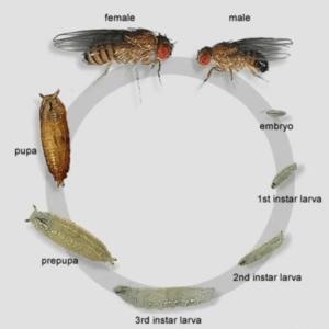 Fruit Fly Culture Development
