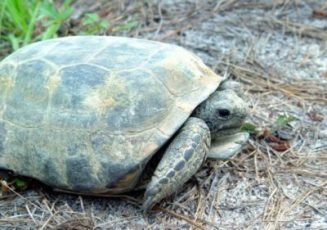 gopher_tortoise-Chris_Evans