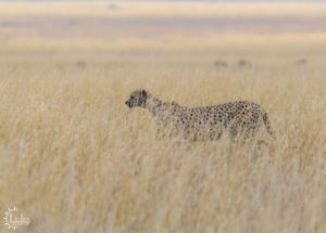 Great shot from our Safari Vehicle of Cheetah walking through tall grass.