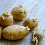 Μπορείτε πραγματικά να δηλητηριαστείτε από πατάτες που έχουν βλαστήσει ή πρασινίσει;