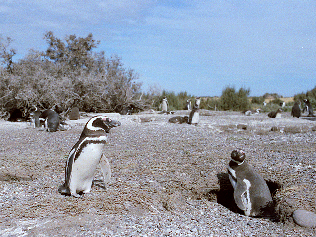 Argentina-Magellanic-penguins