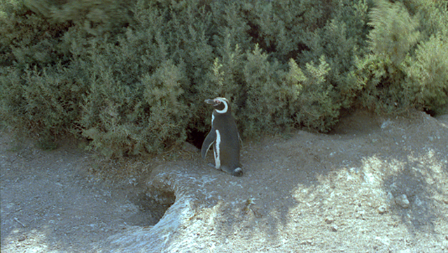 Argentina-penguin-alone