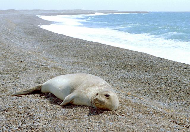 Argentina-seal-2