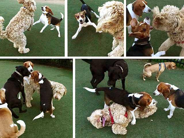 beagle-attack-May2014-r