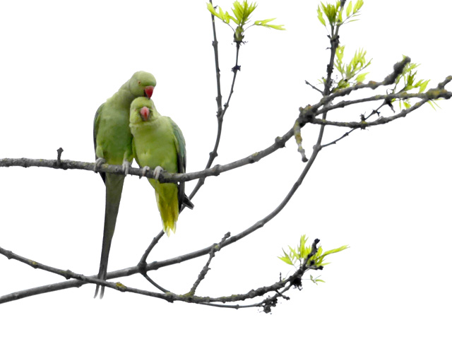 Parrots flock to Amsterdam