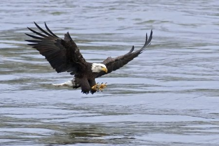 A Bald Eagle approaches the water with talons open to catch fish