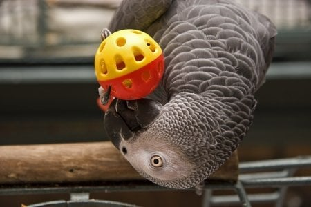 close up african grey parrot playing with bird toy ball