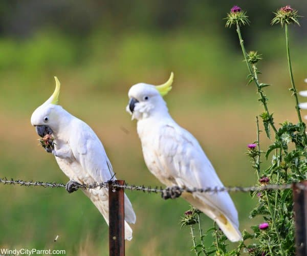 2 sulfur crested cockatoo parrots standing on a barbed wire fence. the one on the left is eating a flower