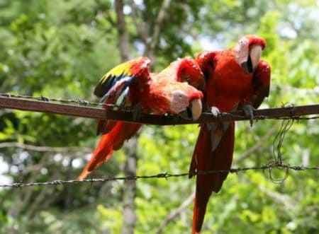 2 scarlet macaws on barb wire fence