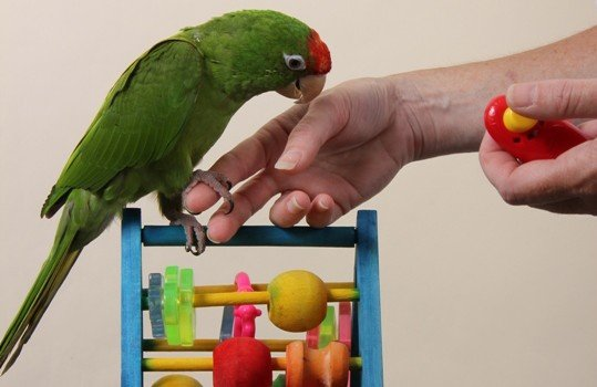 long tail parrot on bird play stand with humans using clicker